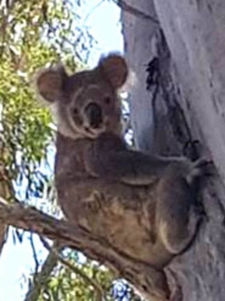 A koala on North Stradbroke Island. Picture: WWF