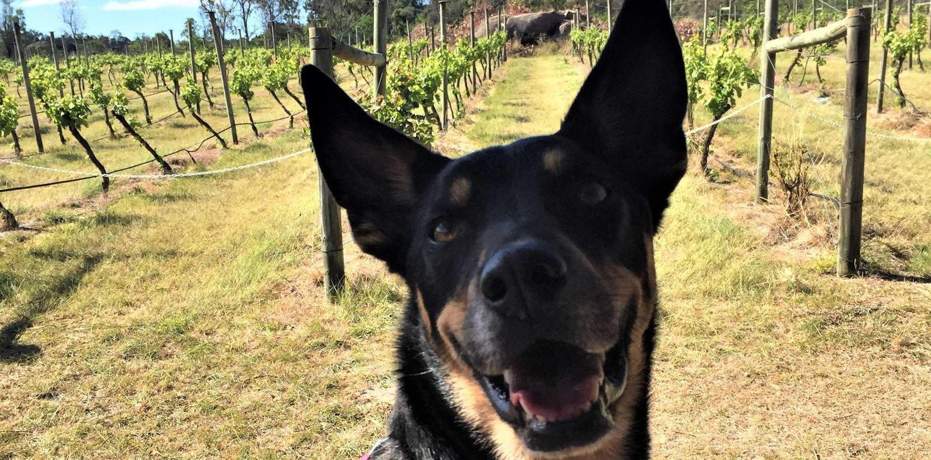 Pooch Piper enjoys her wine tour across the Granite Belt.CREDIT: Dan Denham