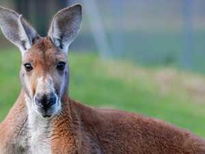 Unlicensed driver crashes car to avoid hitting kangaroo