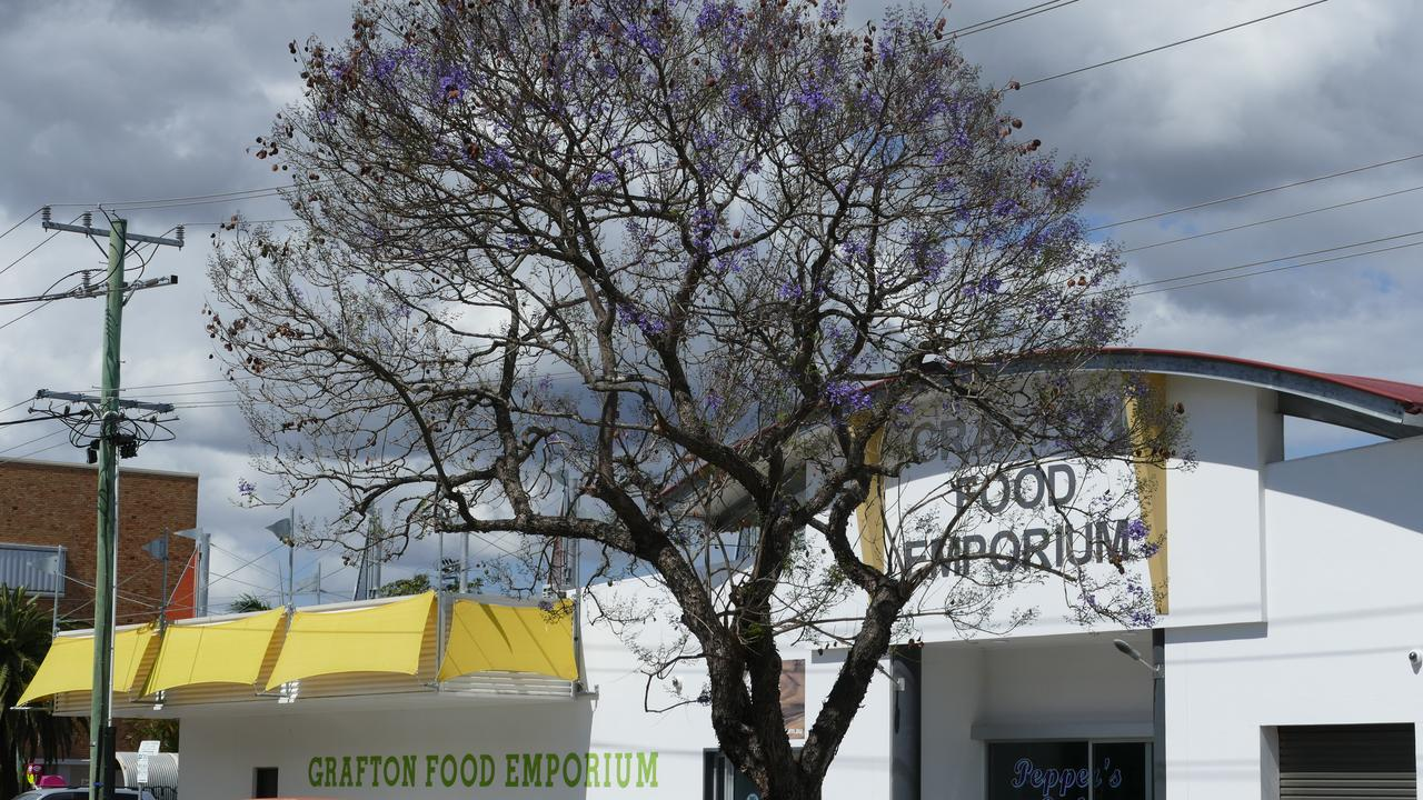 A jacaranda tree in Pound St, outside Grafton Food Emporium, has traditionally been one of the first to bloom and once again it has an early good show of purple.
