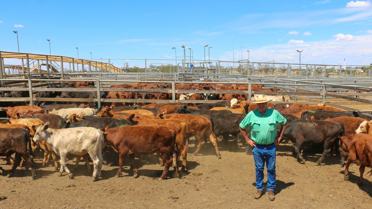 Nutrien Ag Solutions Roma agent Rod Turner with a pen of Merinovale Pastoral Co steers. The steers sold to 578c/kg, reaching a top of $1,503 to average $1,286.