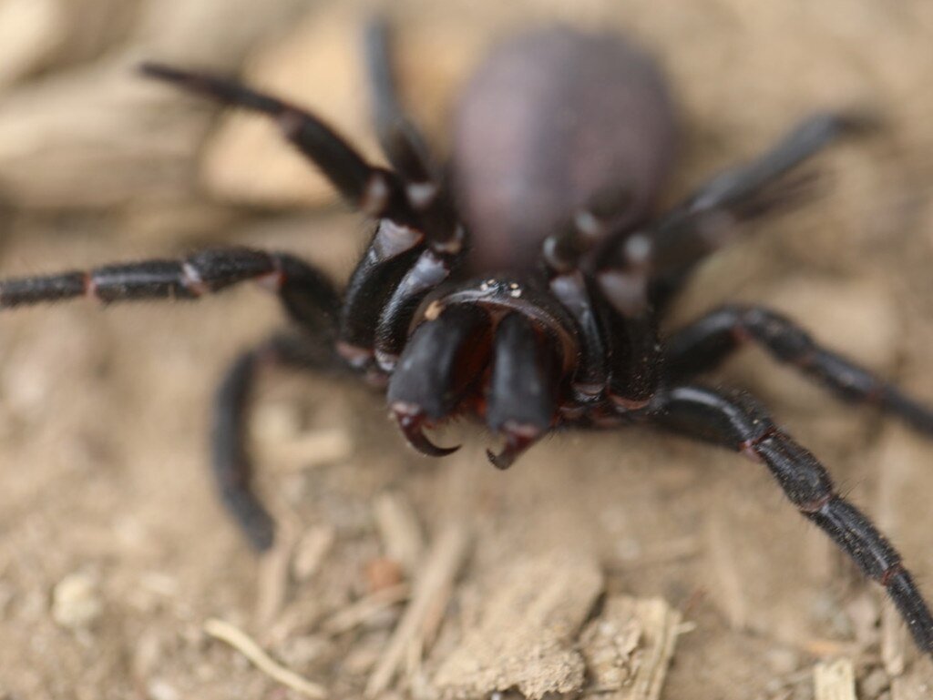 Wet and warm weather conditions will draw out male funnel-web spiders looking for mates.