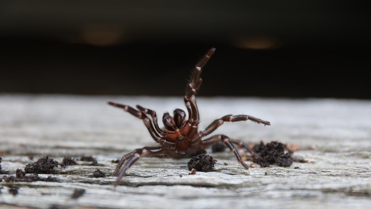 The Australian Reptile Park is issuing a warning to the public on funnel-web spiders.