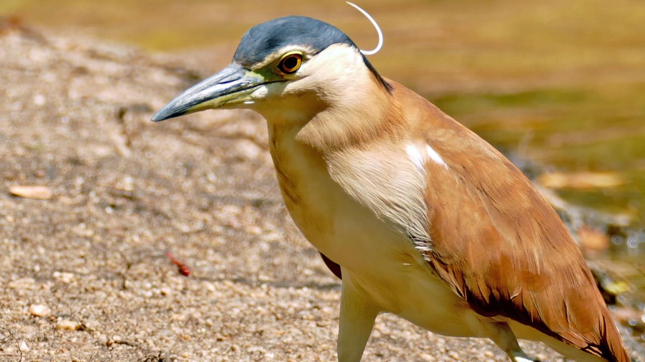 The common name of the Nankeen Night Heron arose in early colonial times from the colour of nankeen, a cotton cloth from China. Photo: Contributed.