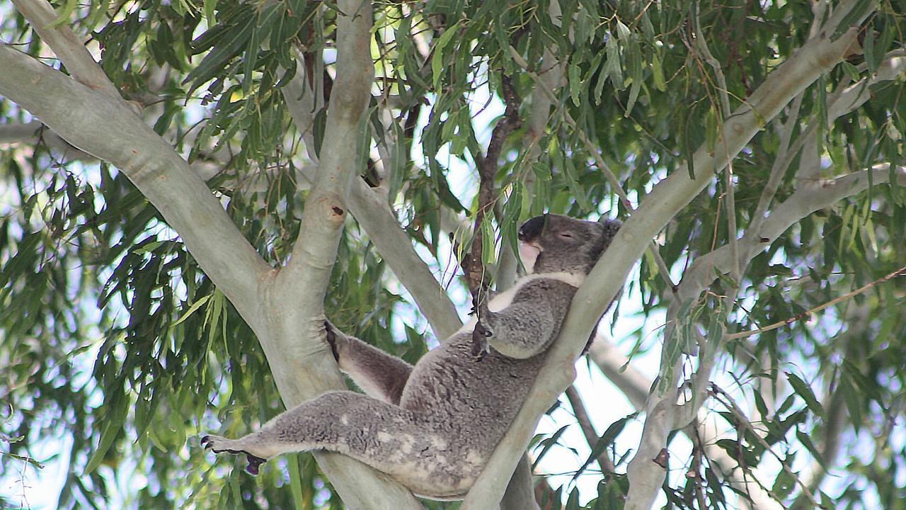 The North Coast koala population was devastated by bushfire.