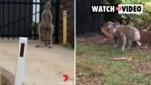 Kangaroo v koala on Straddie (7 News)