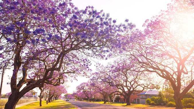 Blooming jacarandas provide boost for Grafton businesses