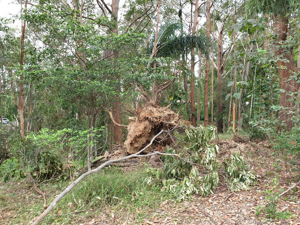 A large tree uprooted from Sunday night's freak storm in the Doonan-Eumundi region. Photo: Matty Holdsworth