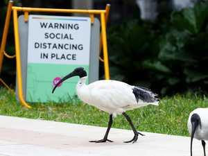 Big myth about Australia's most hated bird