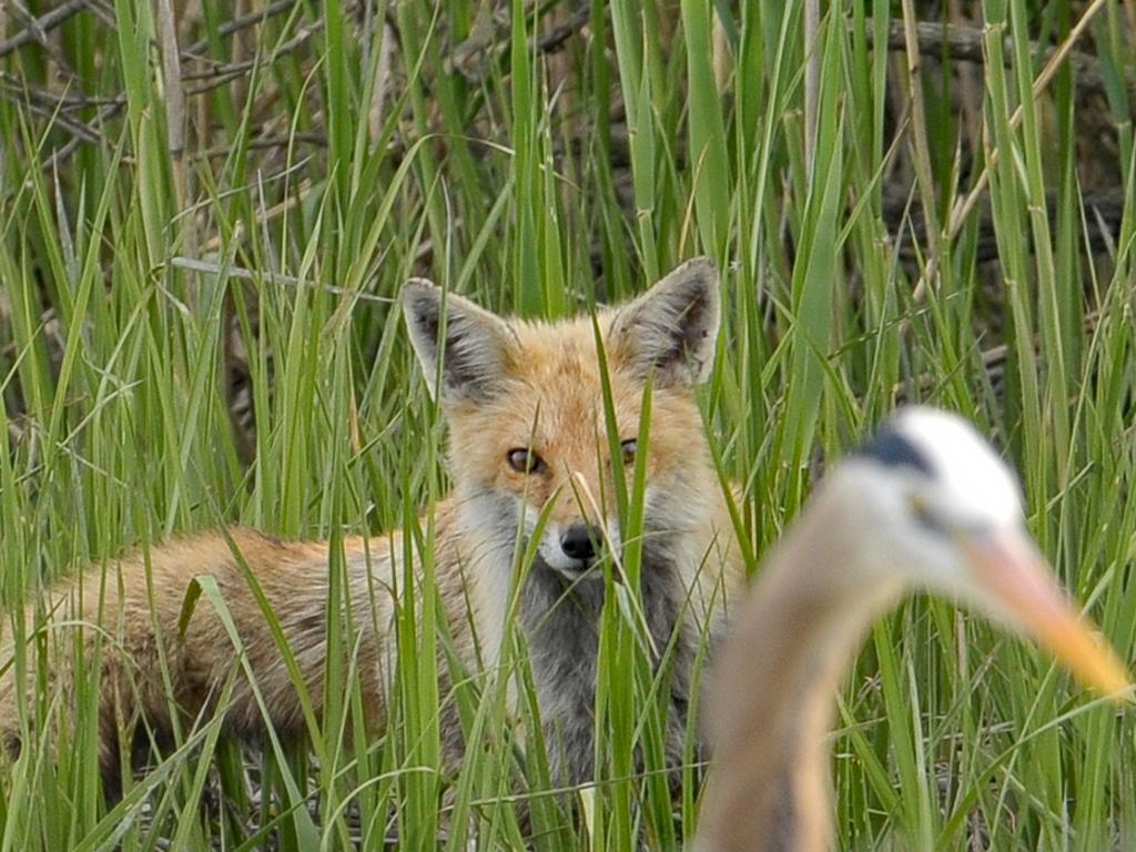 The fox knew it was worth hanging around. Picture: Sam Davis/Jam Press
