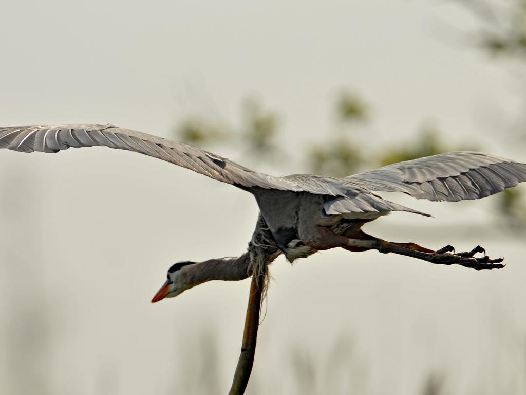 Mr Davis said eagles were following the heron through the air. Picture: Sam Davis/Jam Press