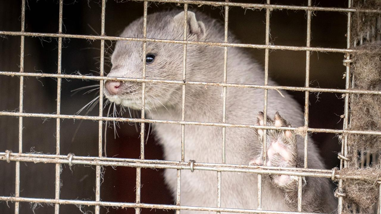 Denmark to kill millions of mink over COVID-19 strain mutation