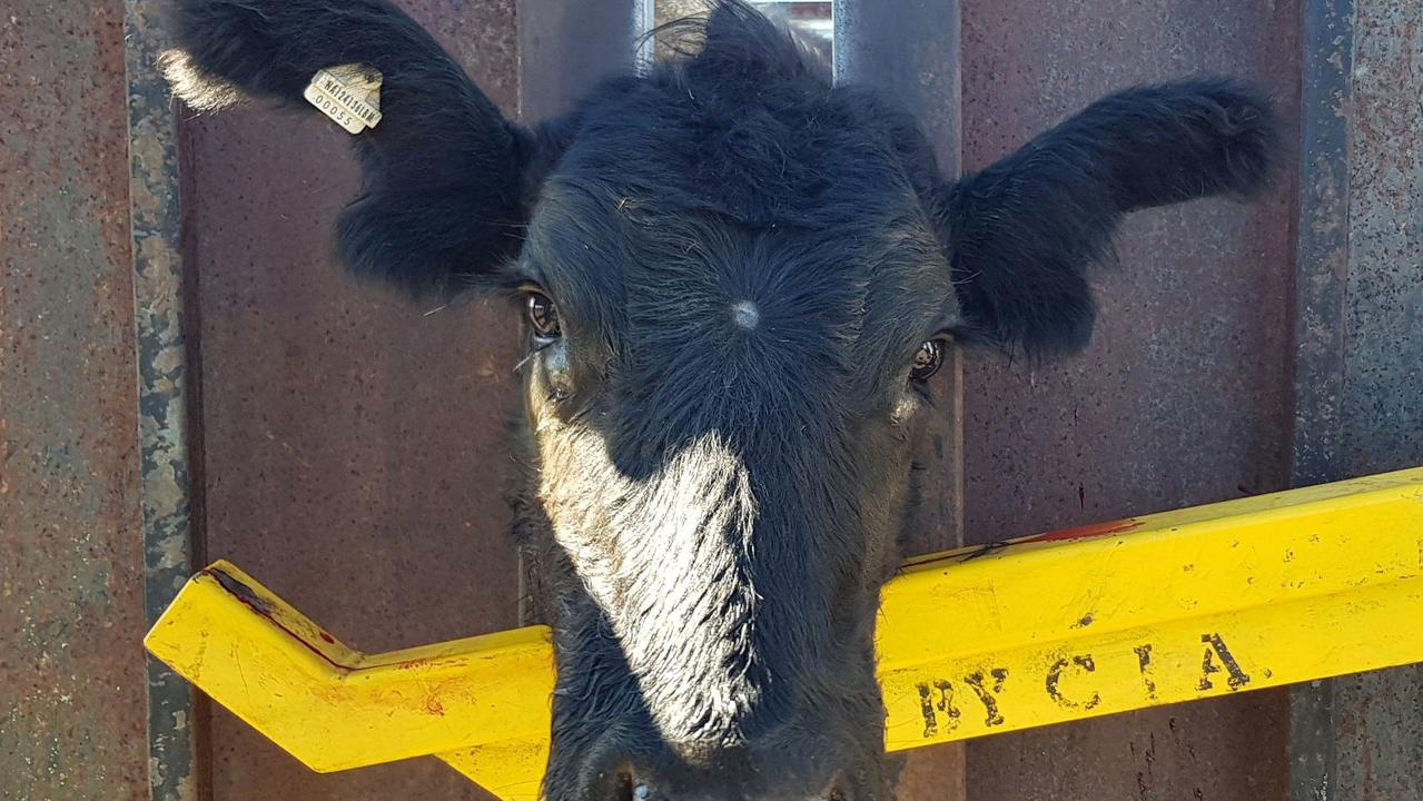 Detectives on the Northern Rivers arrested and charged a farmer with cattle theft.