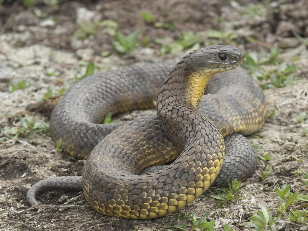 A generic image of a tiger snake