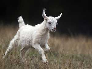 Goat made history flying cross country en route to Bundy