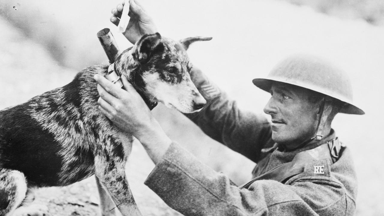 A messenger dog of World War I. Animals have always accompanied troops on the frontline overseas.