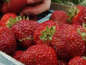 Worker stuck in machine at strawberry farm dies