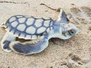 TURTLE WATCH: Nesting season begins in Mackay