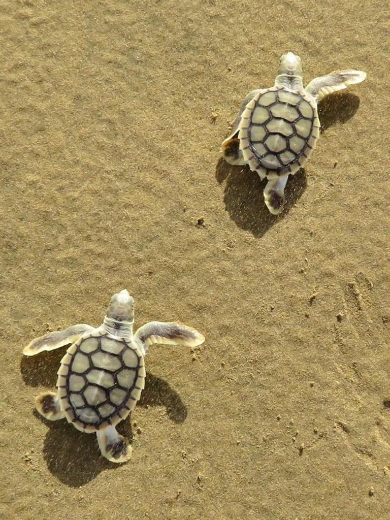 Flatback Turtle hatchlings on Far Beach. Picture: Joely Whiting, Mackay and District Turtle Watch Association.