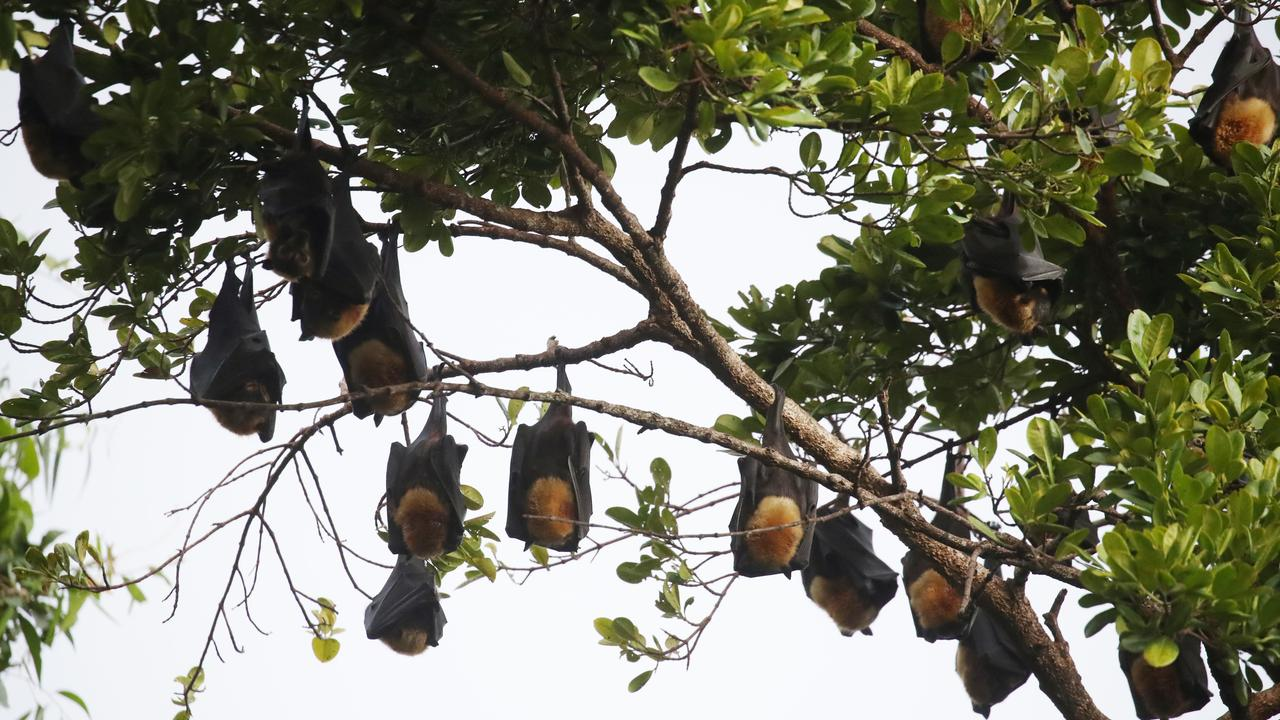 Flying foxes are known to frequent 26 Gardner Ave, Lismore. PICTURE: BRENDAN RADKE