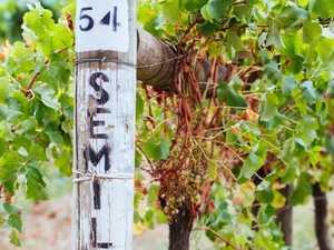 Semillon – versatile, vivacious and undervalued