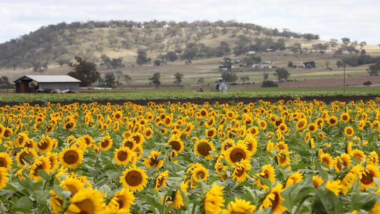 BLOOMING GORGEOUS: Sunflower farm outside Warwick QLD. Pic Jono Searle