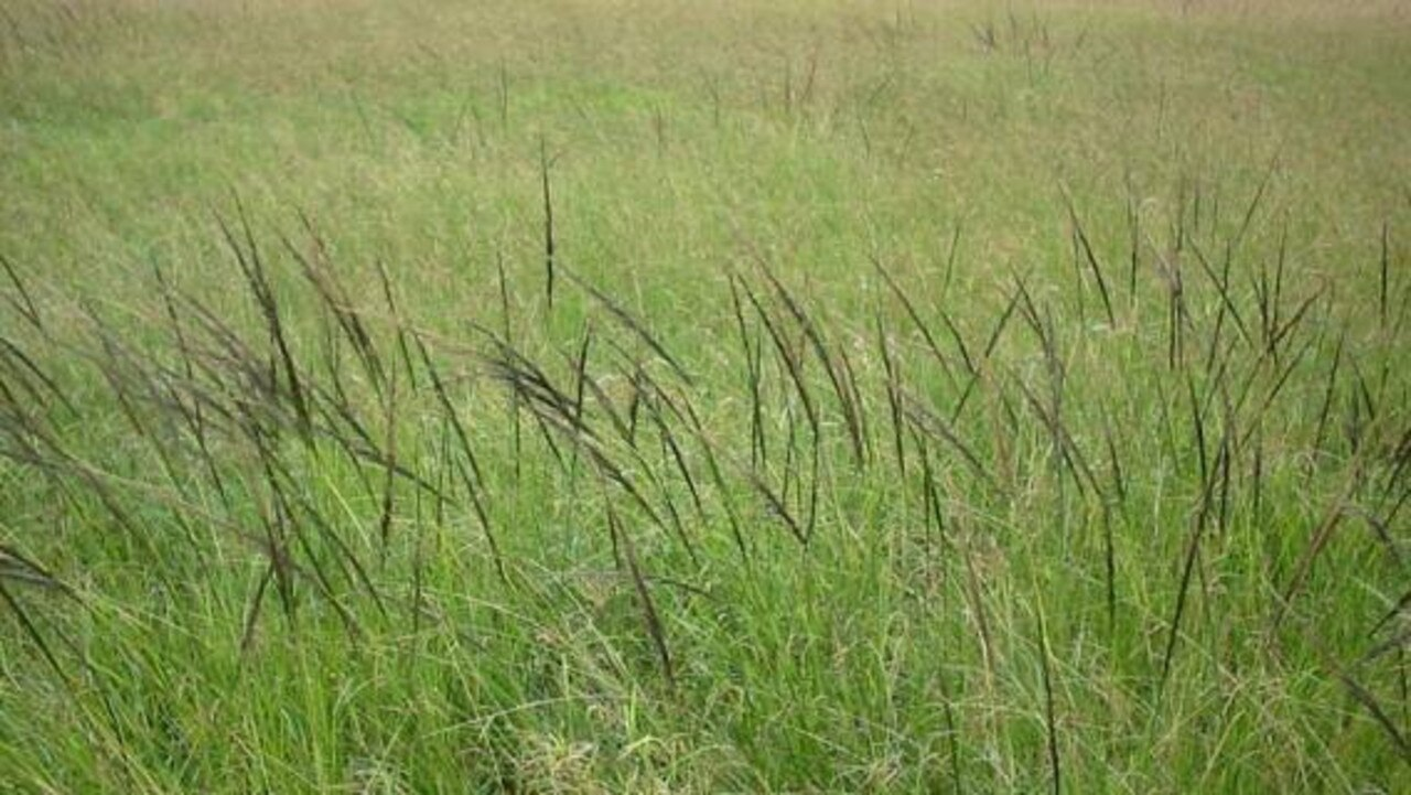 Giant Rats Tail Grass.