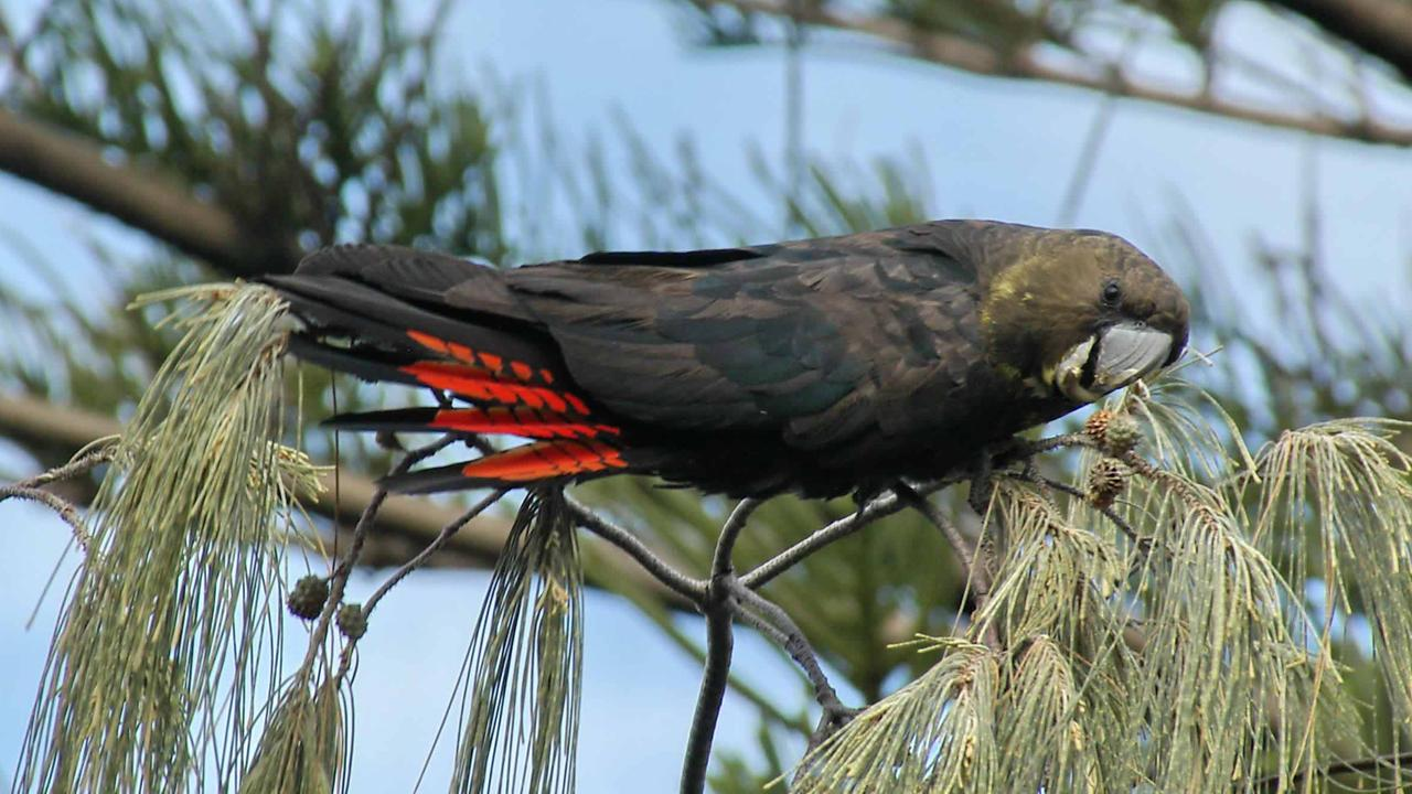 The glossy black cockatoo is subject to major efforts in Noosa to ensure its food trees.