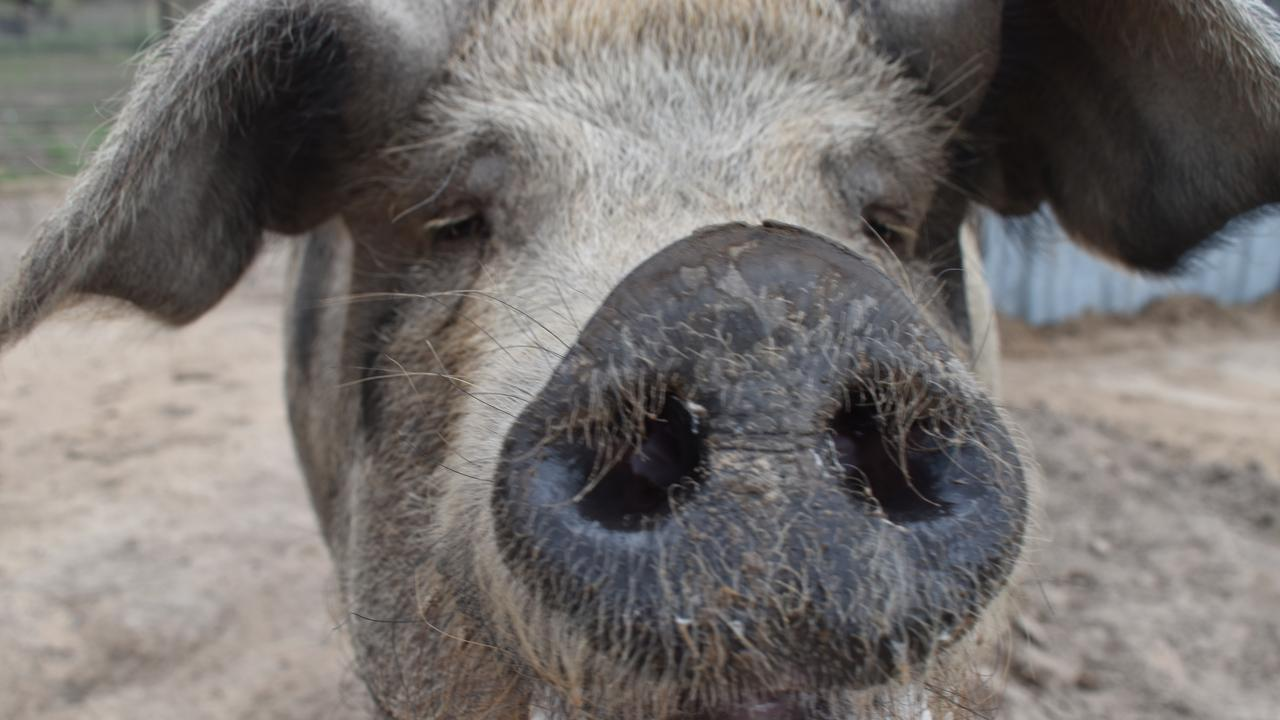 HAPPINESS ABOUND: At the Happy Pig Farm, visitors could treat themselves to exciting encounters like this.