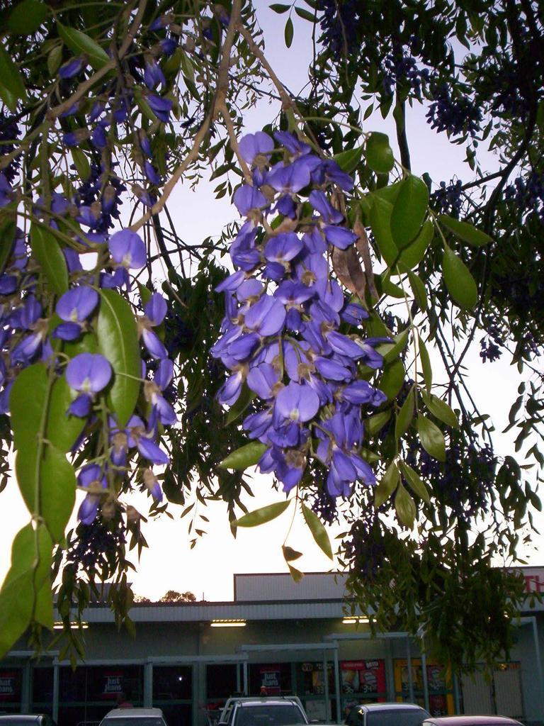 Bolusanthus speciosus flower