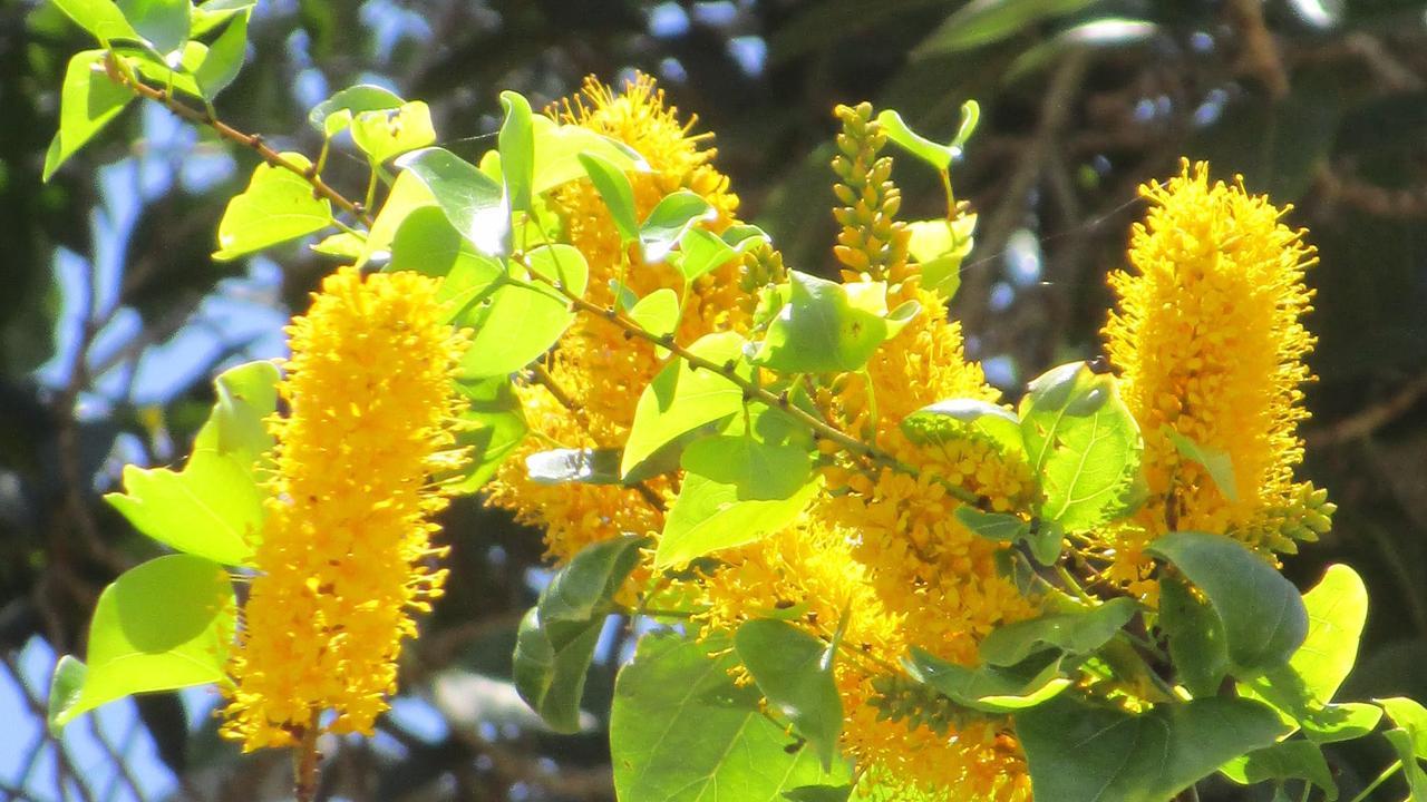 Barklya syringifolia John Leak