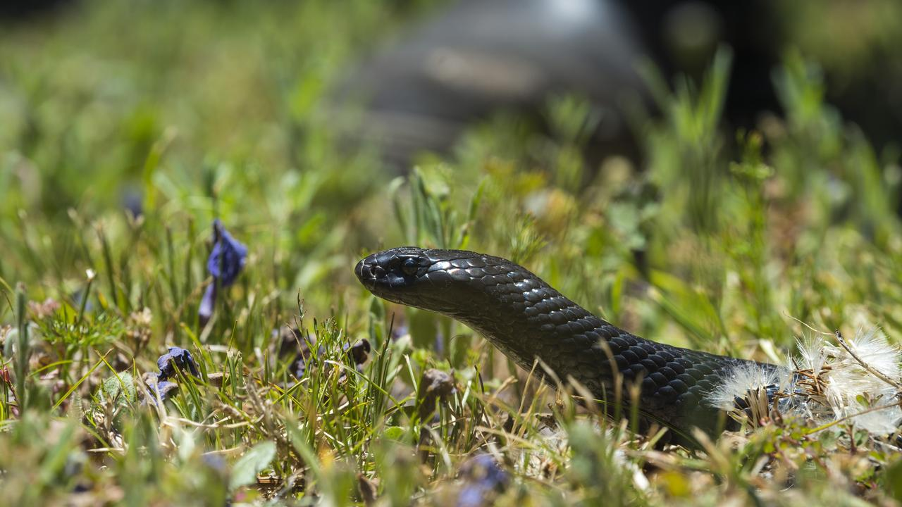 A woman was reportedly bitten on the foot by a snake in Tin Can Bay last night. Picture: File photo