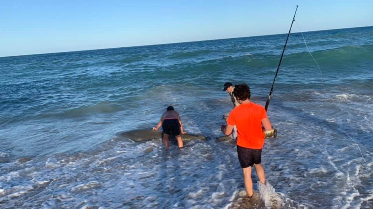 Brandon Hornby helped get this tiger shark back out to sea.