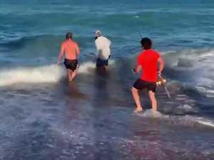 Tiger shark release