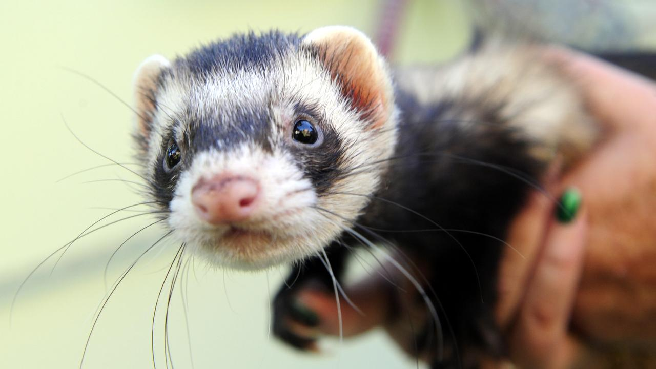 Geelong ferrets were involved in COVID-19 vaccine testing.