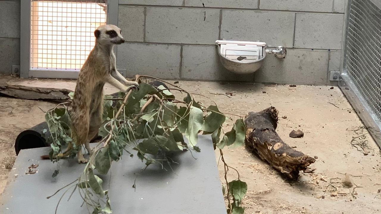Meerkats in their new night house enclosure.