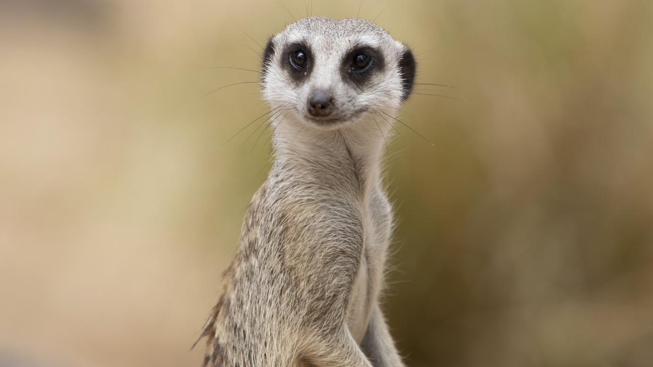 Meerkat Sabari is a new resident at Rockhampton Zoo.