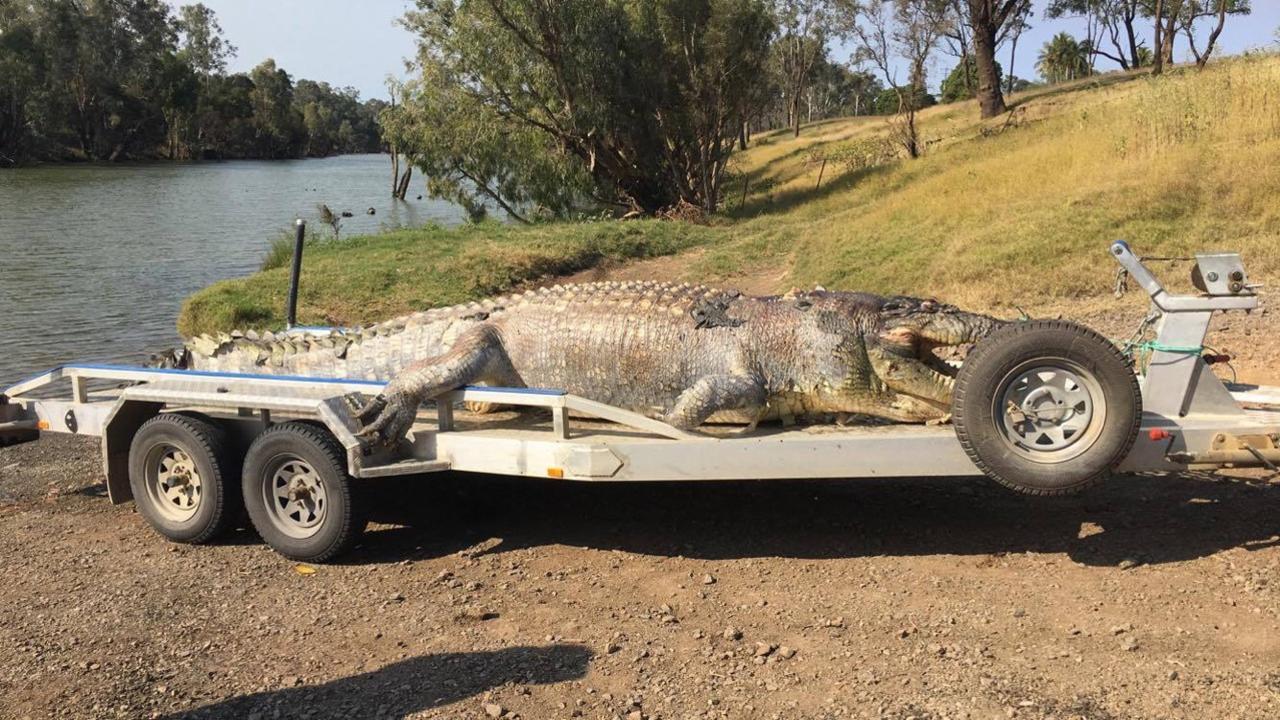 QLD Police Media image of the 5.2m crocodile found shot near Rockhampton.