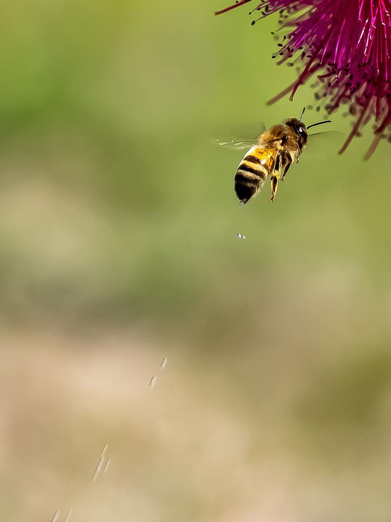 Local photographer Liz Barratt captured the elusive bee wee while taking a few snaps on her Moffatdale property. Photo/Liz Barratt.