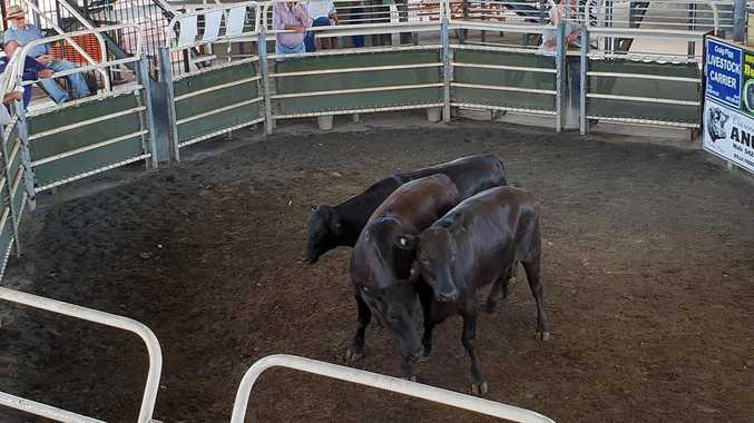REPORT: Quiet week at Grafton saleyards