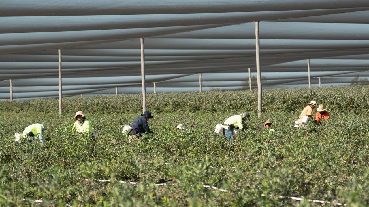 Blueberry pickers at work.