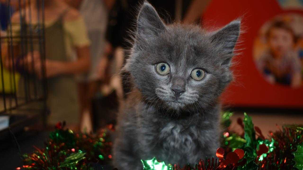 Astro is an eight week old ragdoll cross. He found his furrever home at the Pound Rescue Inc's adoption day on Saturday.