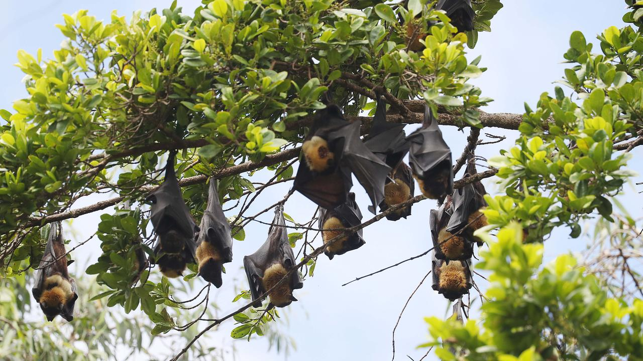 A large percentage of the CBD fruit bat colony roosting in the Anderson Street Conservation Park, Manoora. Picture: Stewart McLean