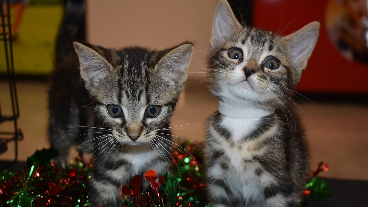 Candy Cane and Saint Nick are two little cuties waiting to find their forever home once old enough. They are about eight weeks old, domestic medium hair.