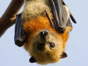 Urgent warning after surge in flying fox bites and scratches