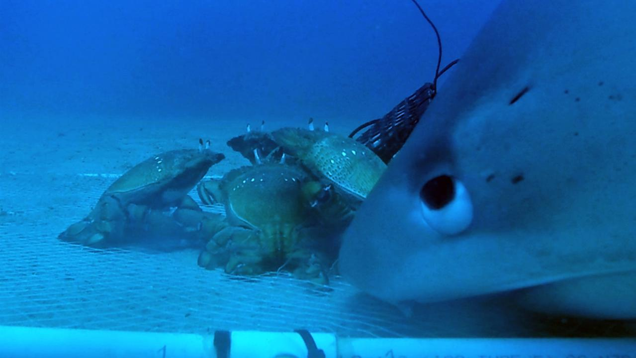 A tiger shark preying on crabs in nets.