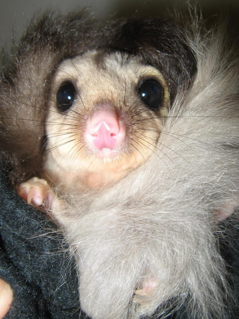 Squirrel glider Honey is being taken care of by the Gladstone and District Wildlife Carers.