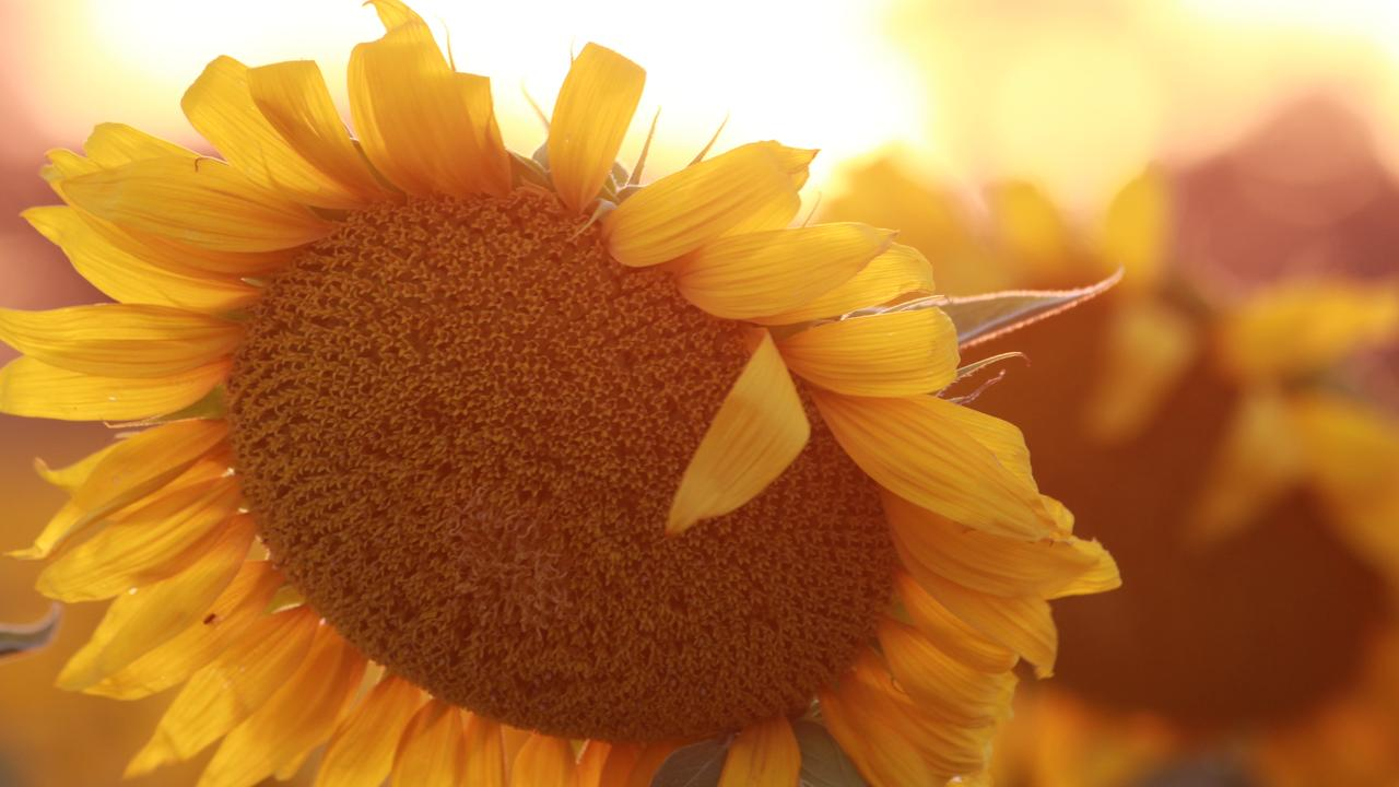 FULL BLOOM: Warwick residents and visitors alike have begun flocking to sunflower crops across the region to snap photos of the stunning plant.