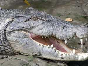 Where you can spot wild crocodiles in Mackay