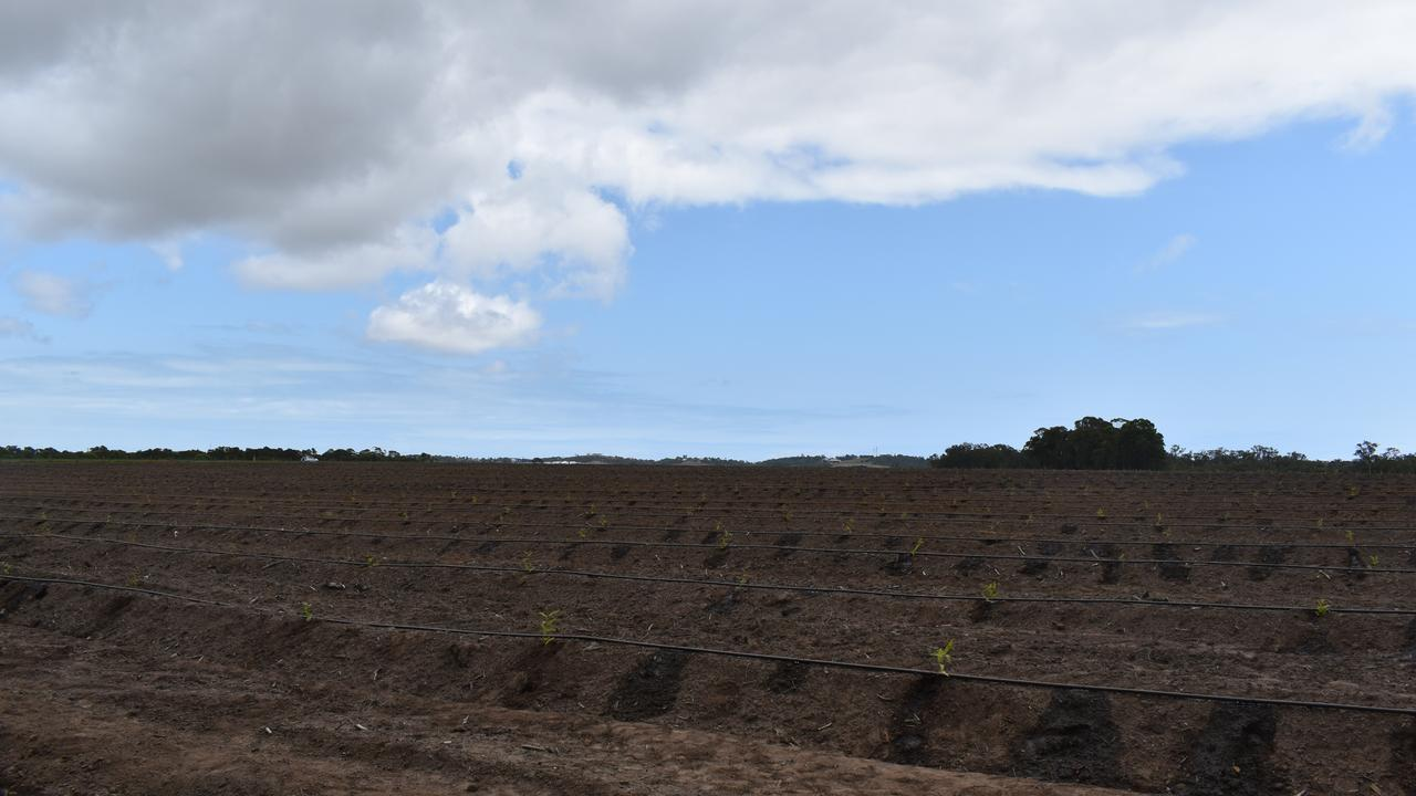 The current plantation field with seedlings. Photo: Stuart Fast